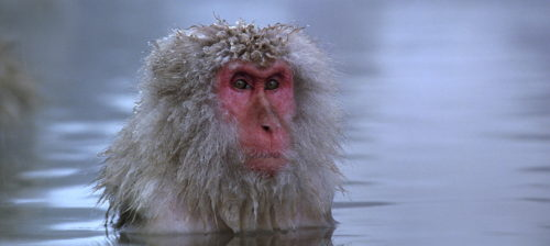 "A Japanese snow monkey in the widescreen visual poem ""Baraka."""