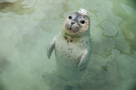 """Harbor Seal pup wearing a plastic id disk attached to its head, from Vanessa Renwick's """"Next Level Fucked Up."""""""